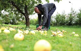 Epleslang tømmer helt lovlig epletrærne i Oslos hager