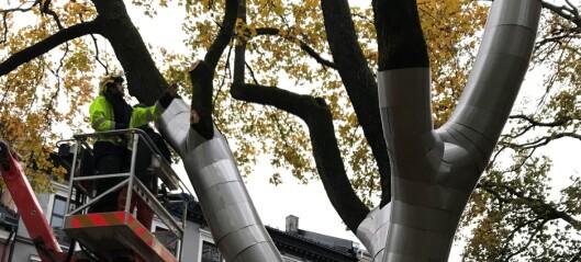 I Sofienbergparken er et lønnetre i ferd med å bli kledd i rustning