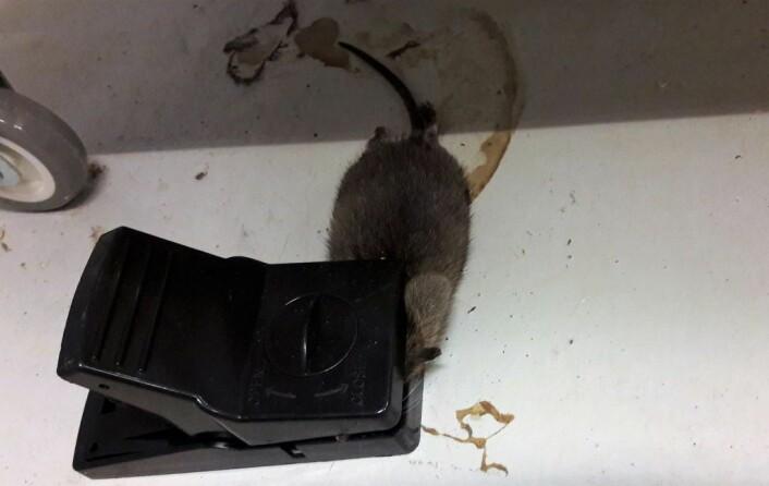 Ei rottefelle er en effektiv måte å ta livet av rotte, men voksne rotter vet ofte å passe seg. De kan også lære seg å løse ut mekanismen med halen, for så å meske seg med åtet. Foto: Anders Høilund