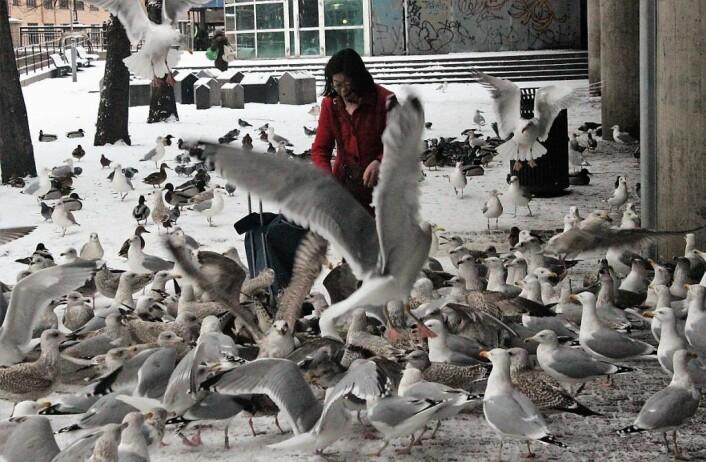 Overdreven fôring av fuglene på Vaterland har ført til store at flokker av måker, ender og duer samles der. Det fuglene ikke spiser, går til rottene. Rottene spiser også døde fugler og alt annet som kan være spiselig. Foto: André Kjernsli