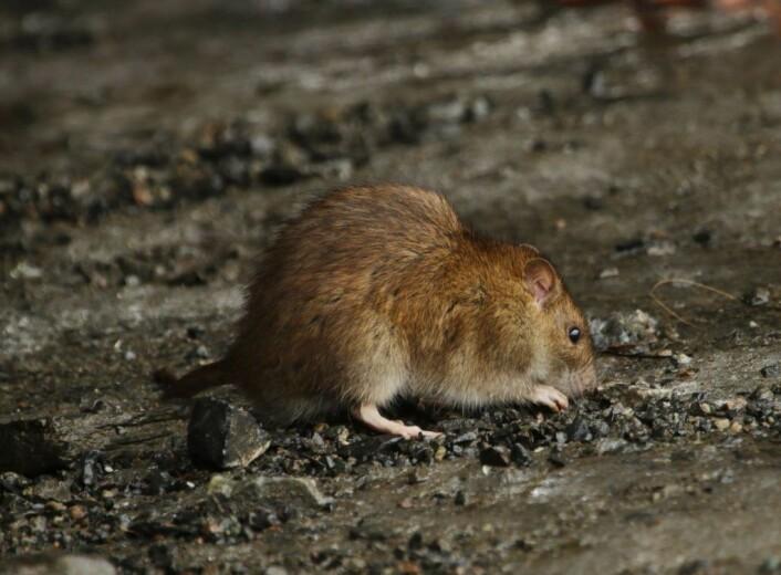 De aller fleste rottene i byen lever i kloakken. De ser vi aldri. Der hvor folk mater fuglene på bakken, vil rottene finne mat. Foto: Inge Lier Madsen