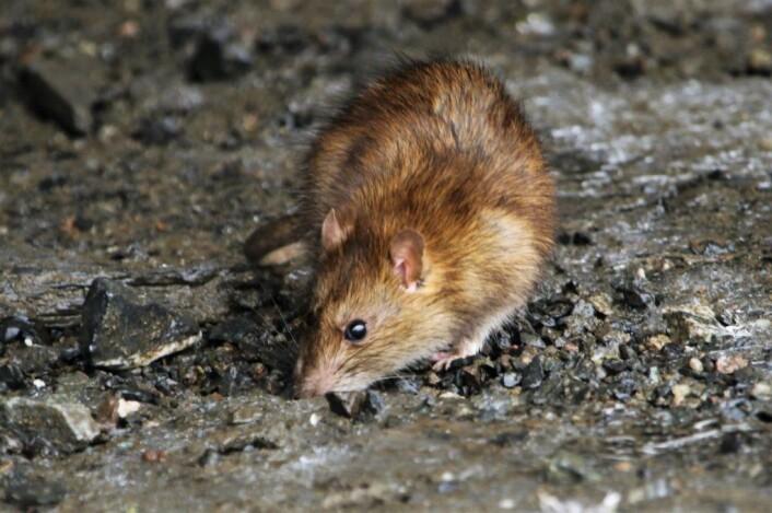 Der hvor det finnes mennesker, finnes det mat for rottene. De har blitt jaget og jaktet på i hundrevis av år, og det er bare de smarteste som vokser opp. Foto: Inge Lier Madsen