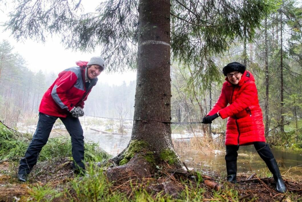 Ordfører Marianne Borgen (SV) (t.v.) og Ruth Bush, som er borgermester i London-bydelen Westminster, sager i treet som skal stå på Trafalgar Square i London i jula. Grantreet, som er ca 24 meter høyt og omtrent 80 år gammelt, har inntil nå stått i ved Grønmo i Østmarka. Foto: Håkon Mosvold Larsen / NTB scanpix