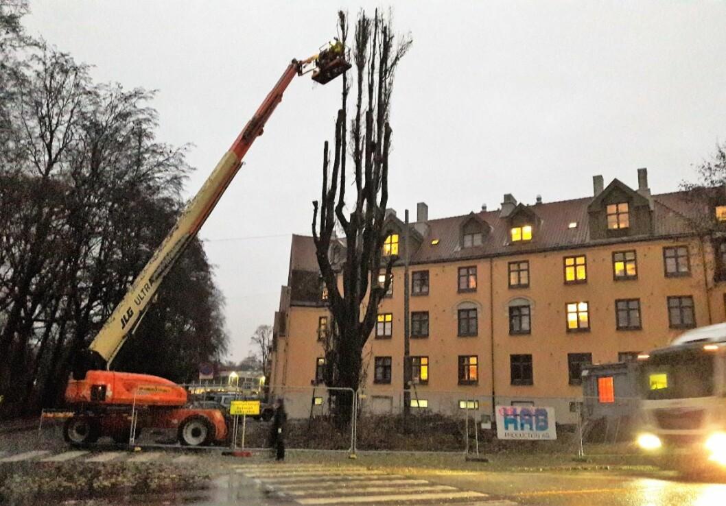 På ettermiddagen sto bare stammeverket igjen av det over 30 meter høye treet. Foto: Anders Høilund