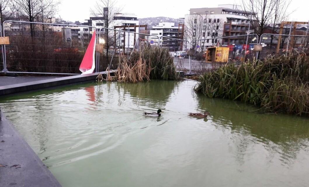 Vann- og avløpsetaten har farget Hovinbekken grønn nedenfor Marienfryd. Det er en mulig lekkasje inn i en byggegrop som må undersøkes. Foto: Anders Høilund