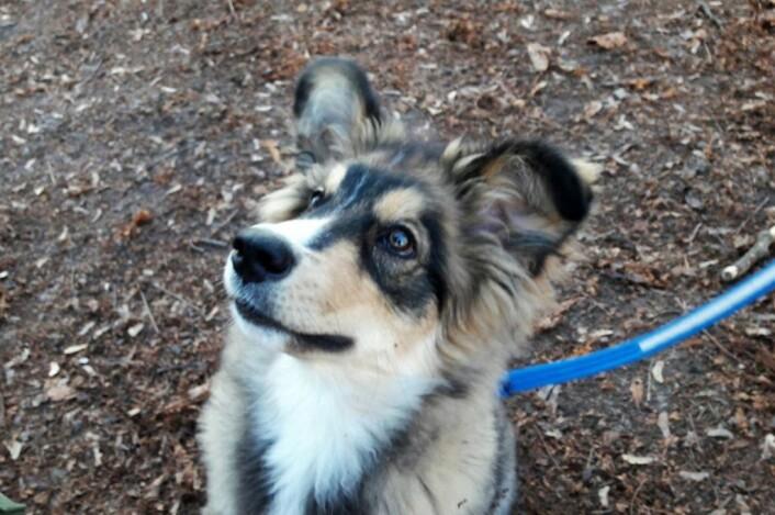 Valpen Senja er en av hundene som sokner til områdene rundt Sofienbergparken. Hundeeksperter sier at det er viktig for valper å bli sosialisert med andre hunder. Det blir de i en hundepark. Foto: Anders Høilund