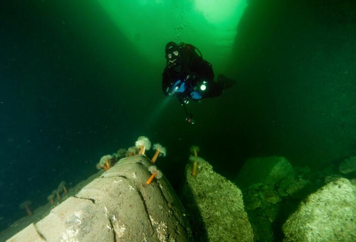 Hummerne har begynt å innta de kunstige revene utenfor Tjuvholmen. Foto: Rune E. Haldorsen