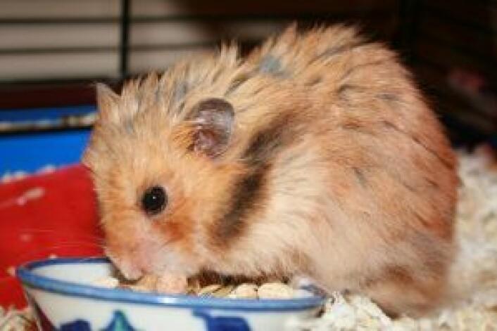Hamster funnet gjemt og avmagret i et bur i en kjellerbod. Foto: DOOA