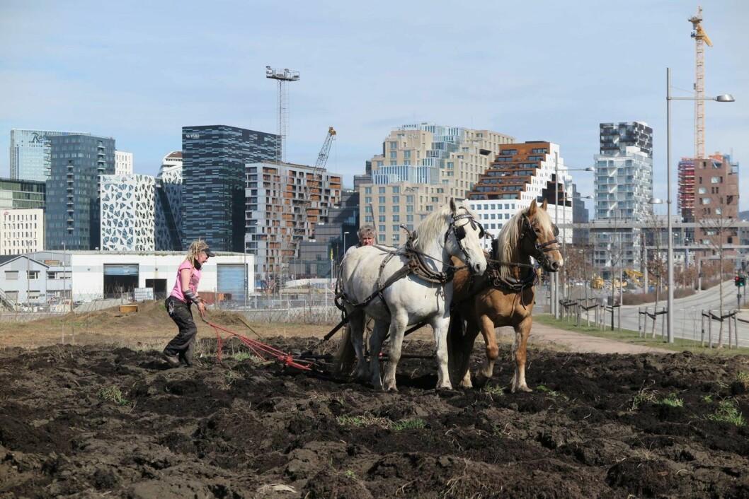 Elever fra Natur videregående skole og Bybonden i full sving på Losæter (dedikert til kunst og urbant landbruk i et område i Bjørvika) i april i fjor, med Barcode i bakgrunnen. Foto: Losæter