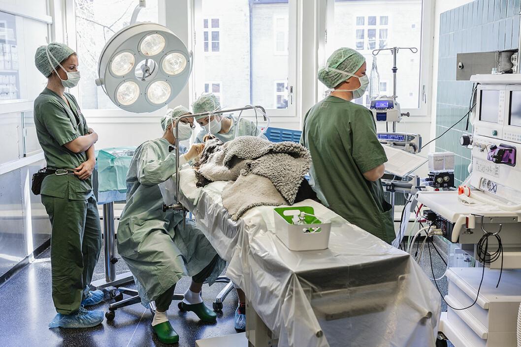 En operasjon på en hund er like krevende som en operasjon på eieren. Foto: Stine Raastad
