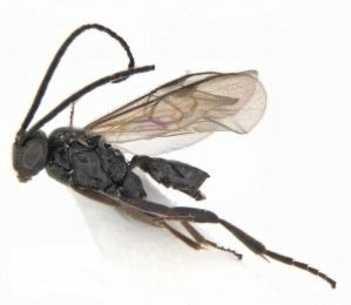 Her er et nærbilde av en av de tre artene som ble funnet i år, vepsen cotesia telengai. Foto: Geir Søli, Naturhistorisk museum
