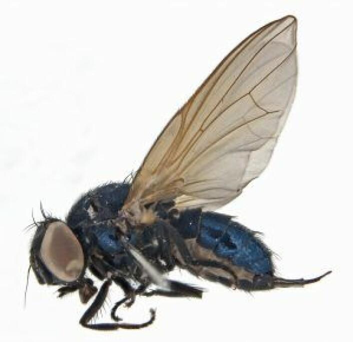 Og her er et nærbilde av arten som ble funnet i fjor, et vakkert hunneksemplar av setisquamalonchaea fumosa. Foto: Geir Søli, Naturhistorisk museum