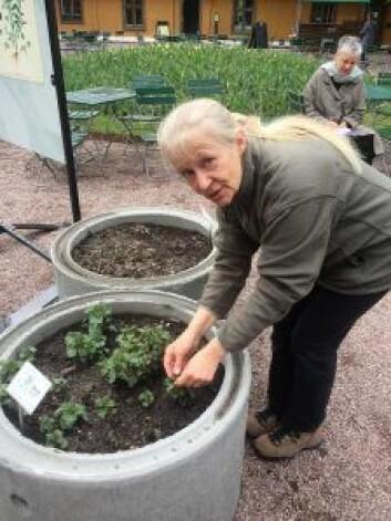 Botaniker Kristina Bjureke forteller at nesle er en av de spiselige plantene vi bør sanke og spise nå på våren. Foto: Vegard Velle