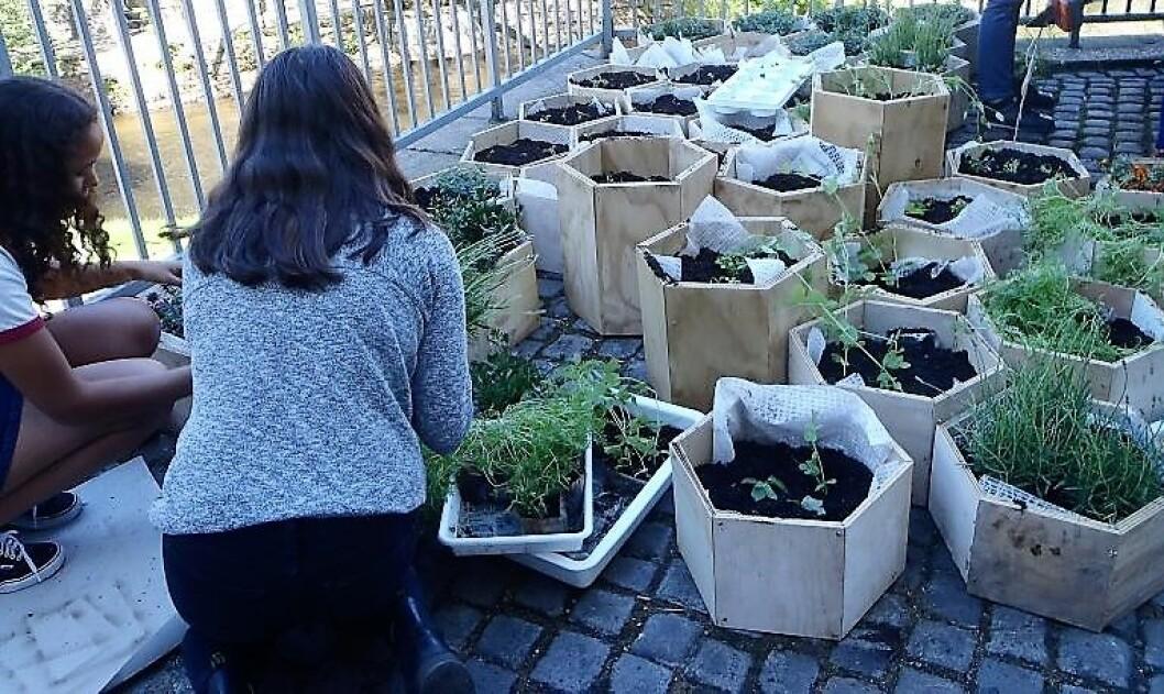 Elever ved Elvebakken videregående planter i sekskantede plantekasser. Foto Anders Høilund