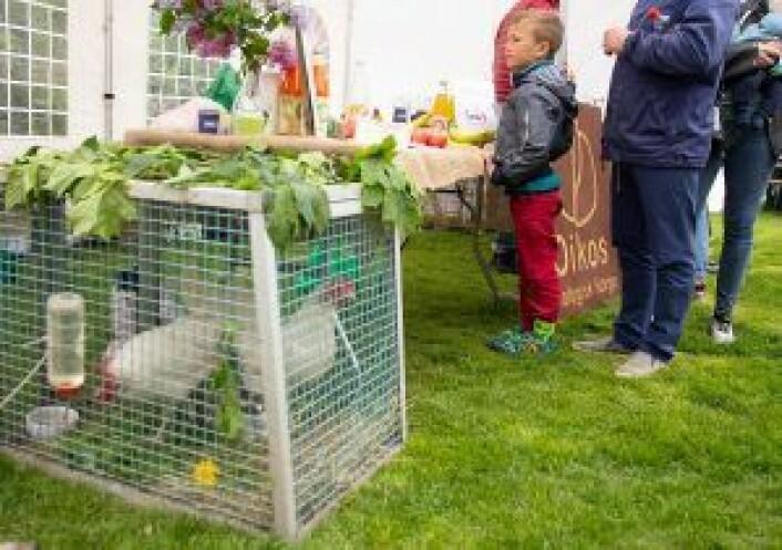 Det var flere forskjellige dyr på Miljøfestivalen, disse hønene var en del av Spires stand. Foto: Susanne Skaug