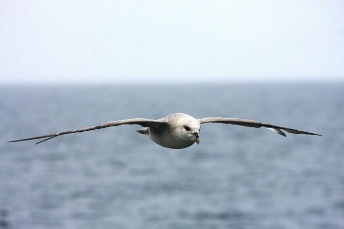 Havhest i sitt rette element, på vingene over Nord-Atlanteren. Foto: Bjørtvedt. Wiki commons