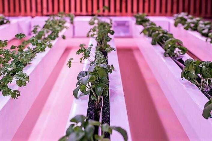� Energibruken av salat og andre grønnsaker produsert innendørs er mye større enn produksjon ute, mener skribenten. Foto: BySpire