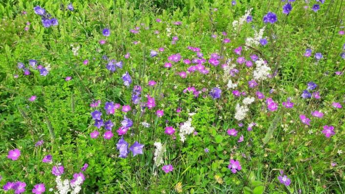 Blomsterengene på Hovedøya er slik du trodde bare fantes i eventyrene. I henholdsvis rødt, hvitt og blått har vi blodstorkenebb, knollmjødurt og fagerklokke. Foto: Anders Høilund