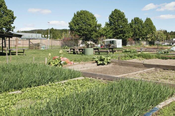 Parsellhagene på Stovner er grønne og frodige. Foto: Kikkut kommunikasjon