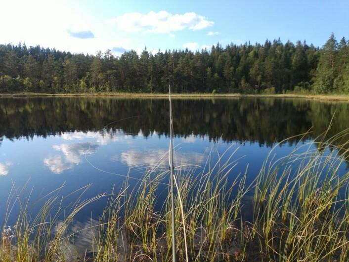 Det er fint i skogen en vindstille dag i Juli. Foto: Bård Hammer