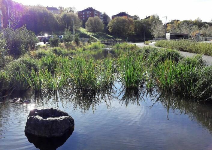 Oppstrøms Teglverksdammen er det plantet ut tett med vannplanter som filtrerer vannet. Foto: Anders Høilund