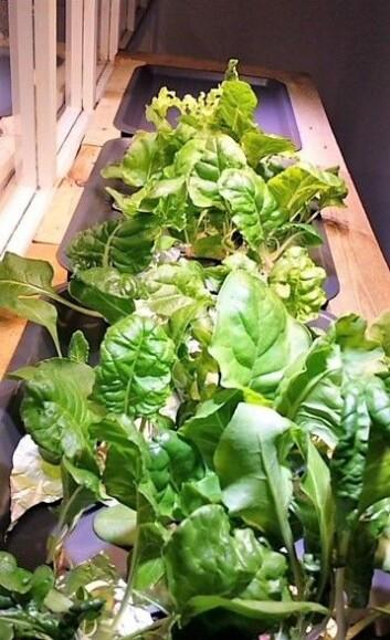 Salaten vokser fort i anlegget, og Netland og Skaug eksperimenterer med forskjellige planter. Foto: Marianne Netland