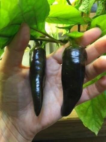 Hjemmeavlet chili fra Grønland, vokst opp på næring fra tilapia-fiskene. Foto: Marianne Netland