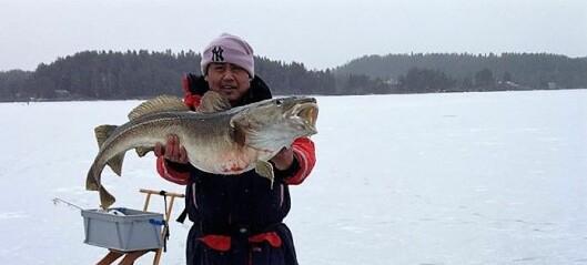 Miljøgifter i fisk og skalldyr minker langs kysten, men indre Oslofjord øker mengden kvikksølv i torsken