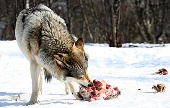 Alfahannen i Østmarka er sporløst borte. Sannsynligvis er ulven drept av krypskyttere