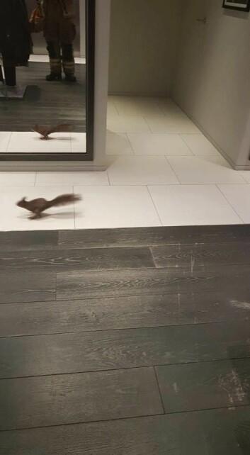 Et ekorn på flukt i en klesbutikk er ikke lett å fange. Foto: Anders Fredrik Raaer / Oslo brann- og redningsetat