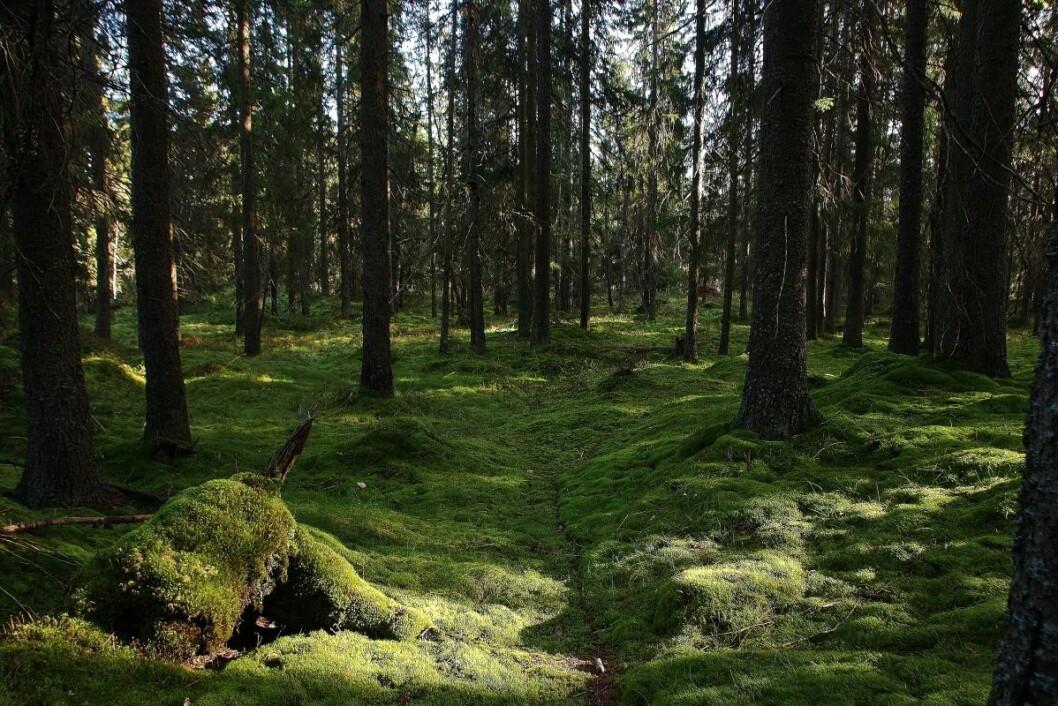 Eventyrskog i Østmarka. Foto: Steinar Saghaug