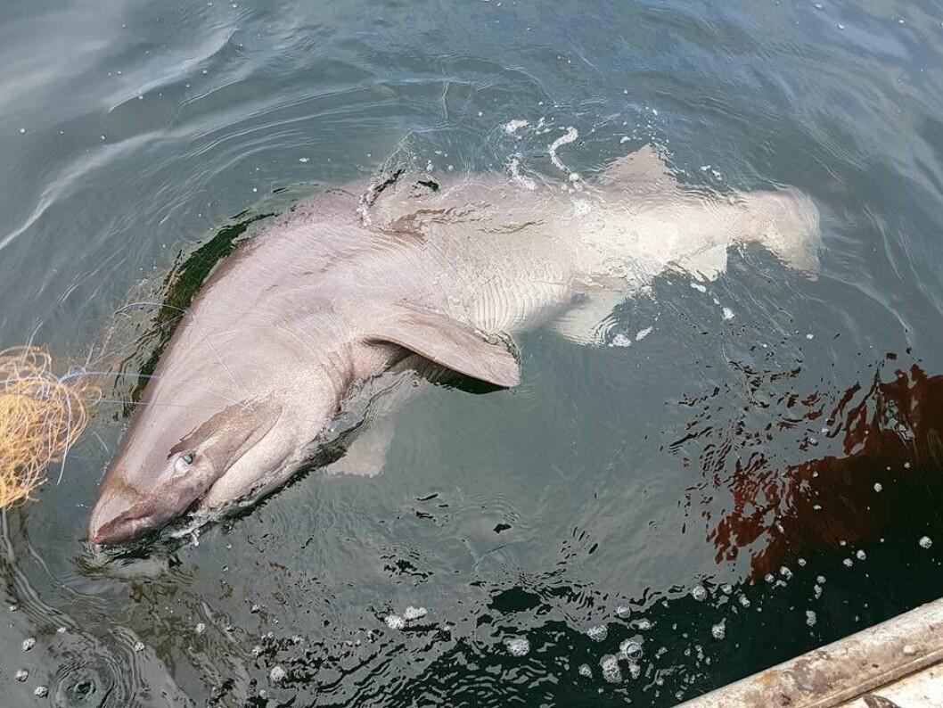 Kamtannhaien som viklet seg inn i garnet til Fred ved Nesodden. Foto: Fred-Harald Bratli