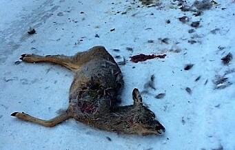 Minst 12 rådyr drept av løse hunder i Oslo siden midten av januar