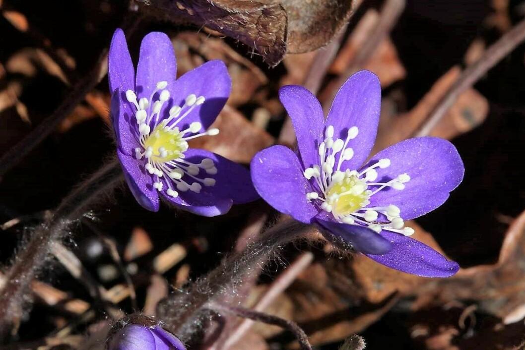 Denne blåveisen er fra Bygdøy 31. mars. Foto: Audun Åby