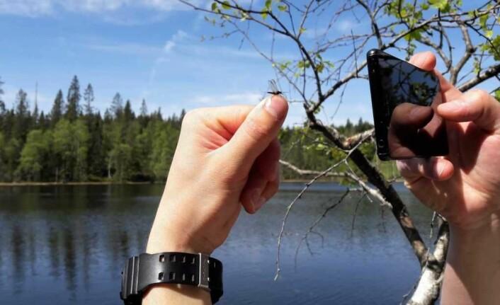 Sommertegn, en nyklekket døgnflue. Det er ørretens favorittmat etter en lang vinter. Foto: Anders Høilund