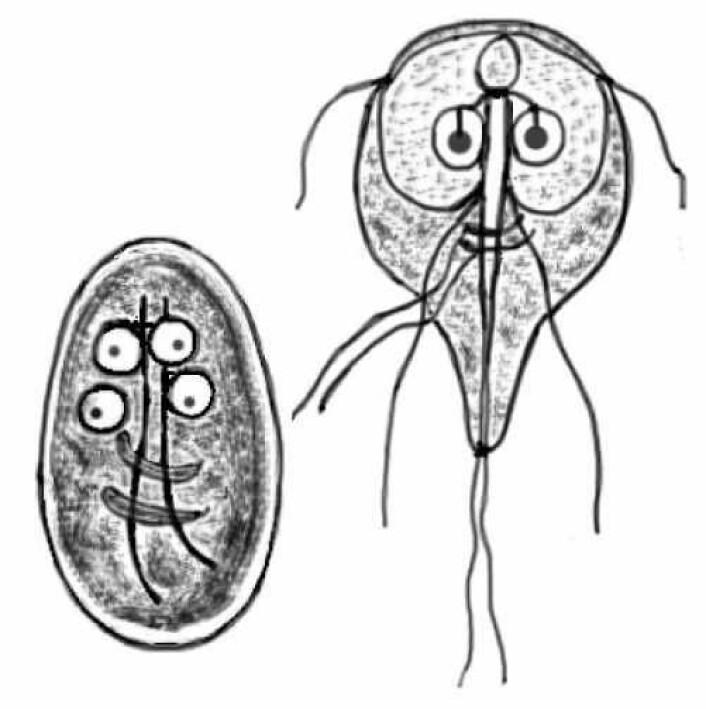 Den er ikke å morsom som den ser ut som. Parsitten Giardia_lamblia er en av mange skadelige organismer som kan finnes i forurenset vann. Illustrasjon: Aleksander Da Silva