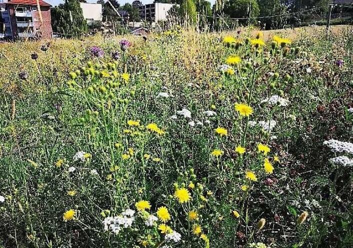 Slik kan blomsterenga ved Blåsen etterhvert bli seende ut. Her fra en liknende blomstereng på Ola Narr. Foto: Bård Bredesen / Bymiljøetaten