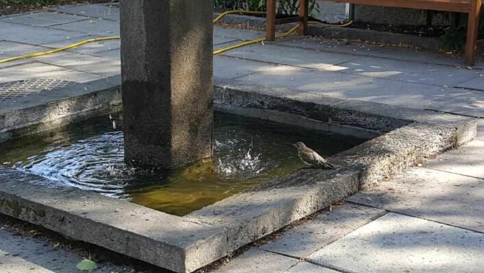 Klukkingen av vann kunne ikke høres fra fontenen i Lille Jacob på flere år. Nå er den til stor glede for både fugl og menneske. Foto: Tarjei Kidd Olsen