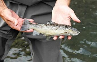 Fiskedød i Hovinbekken etter et utslipp. Livløs ørret, fiskeyngel og mark i vassdraget