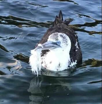 Den unge havsula ville trolig ha sultet i hjel om den ikke hadde fått hjelp. Foto: Marcus Reise