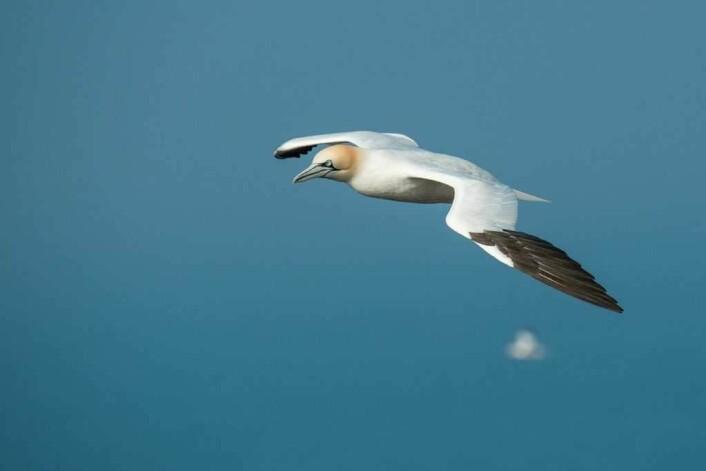 En havsule på vingene er et flott syn. Dessverre er disse fuglene ofte offer for plasforsøplling på havet. Foto: Wolfgang Voght
