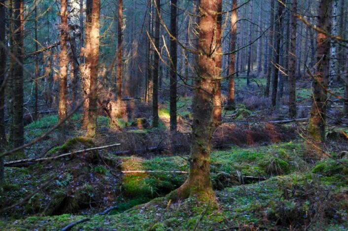 Der vi gikk blant disse eldgamle plantene og den ferske granskogen, var vi hjertens enige i en ting: De aller fleste nordmenn burde vite mer om skogen de tar for gitt. Foto: Sara Linea Pihl / Katja Johanne Pihl