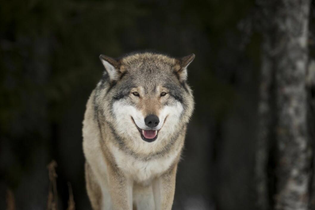 Ulv på Langedrag. Voksen hannulv. Latinsk navn: Canis Lupus. Foto: Heiko Junge / NTB scanpix