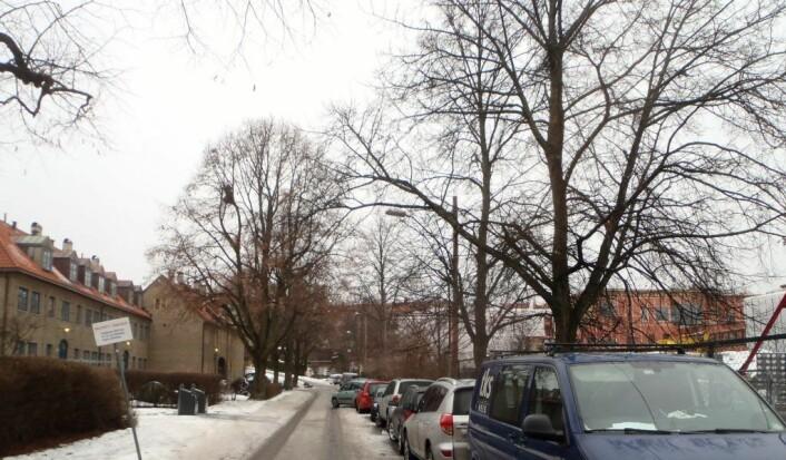 Alléen i Haralds vei har stått siden 50-tallet og laget en grønn ramme om skolegården på sommeren. Nå har de fleste trærne på bilsiden blitt hugget ned for å gi plass til et fortau. Med fortauet forsvinner også gateparkeringen. Foto: Anders Høilund