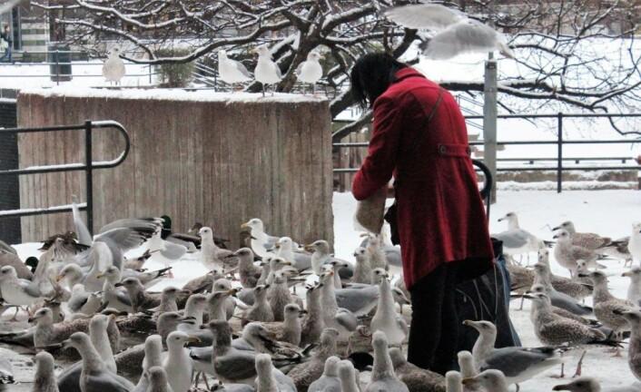 Foring av fugler har ført til at store flokker av måker, duer og ender lager et uhygienisk miljø. Foto: André Kjernsli