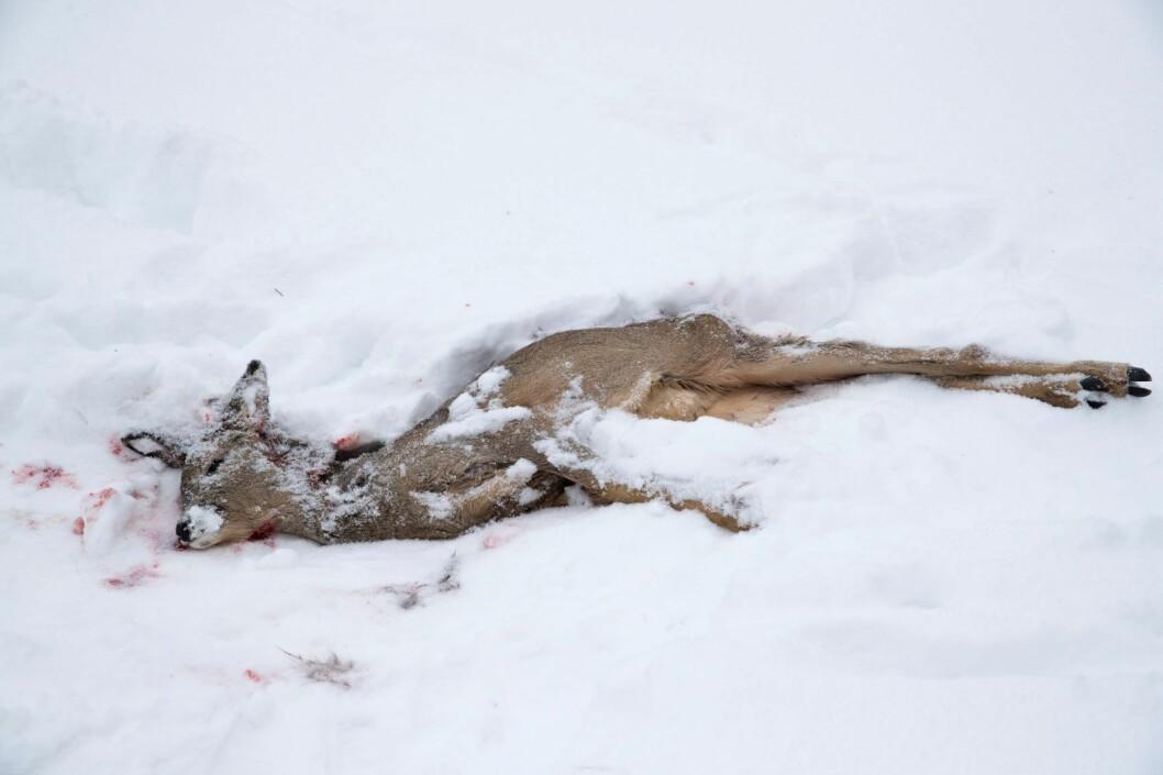 En rådyrbukk ligger død i snøen. Dette rådyret ble tatt av en rev. Foto: Terje Bendiksby / NTB scanpix