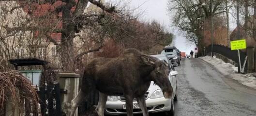 Det går en elg i byen