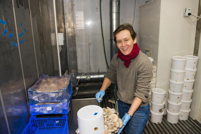Siri Mittet skjærer hull i bøtta som østerssoppen vokser i. Foto: Morten Lauveng Jørgensen