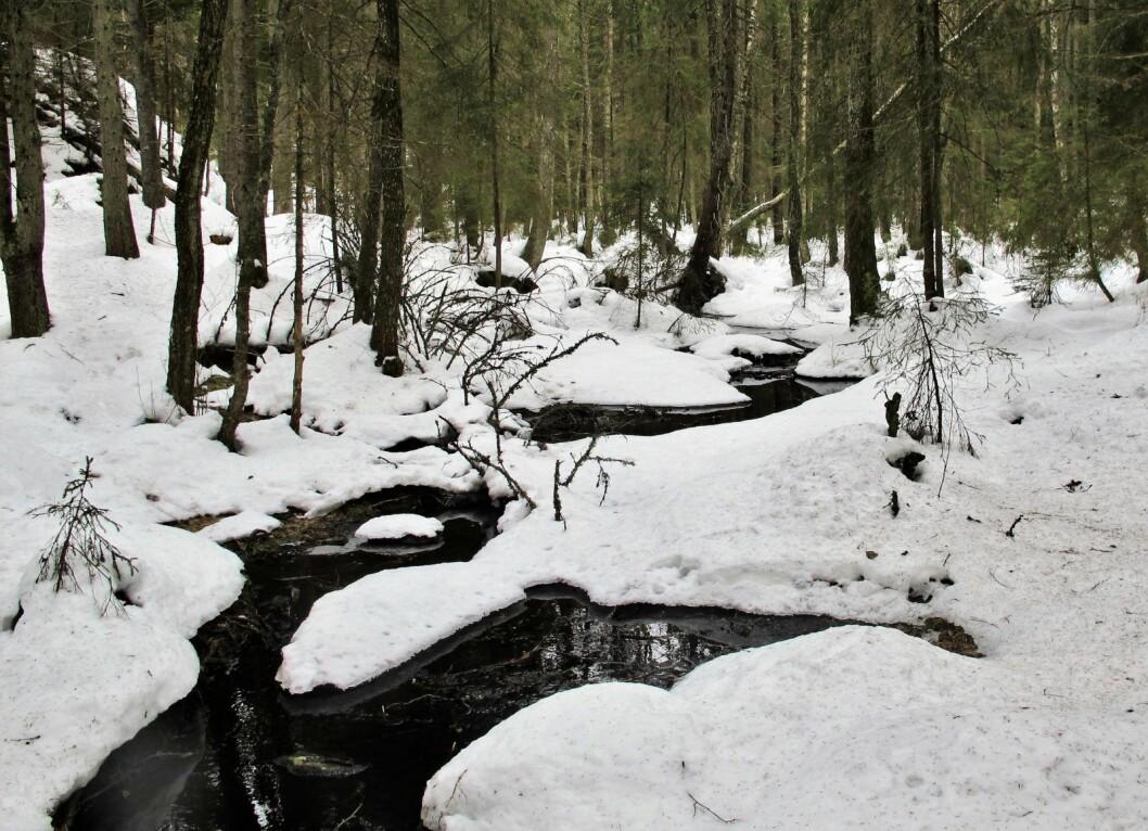 Bekken snirkler seg mellom et flertall av grantrær, men også noen bjerk og osp innimellom. Foto: Katja Johanne Pihl