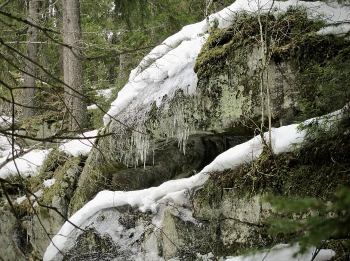 Dette er stedet. Her, vel åtte-ti meter over dagens bekkeleie, har Trolldalsbekken, lenge før den hadde noe navn, og lenge før det bodde noen mennesker her, gravd seg inn i fjellet og avsatt sitt spor for ettertiden. Kanskje bergarten var mykere akkurat her. Det ser ut som yttersvingen i en meander. Foto: Katja Johanne Pihl
